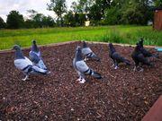 Tauben Entflogen