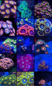 Korallen Meerwasser Korallenableger LPS Acanthastrea