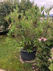 Oleander weiß blühend 160 cm