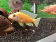 barsche Firefish Fische