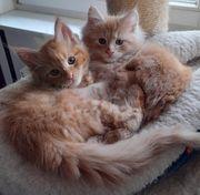 Maine Coon Katzenkinder
