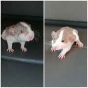 supersüsse zahme Ratten Babys
