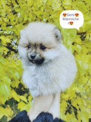 Pomeranian boo Teddy