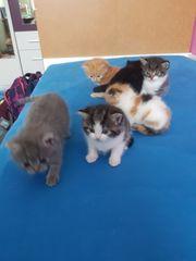 Babykatzen mix sibirische Waldkatze BKH