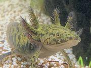 Schöner Axolotl BD frei und