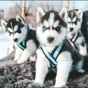 Siberian Husky Welpen bcjsnsbh