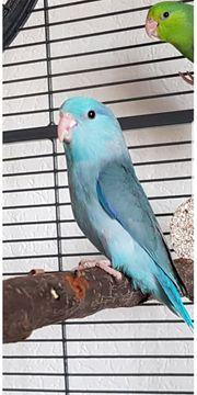 Blaue Sperlingspapagei Hahn