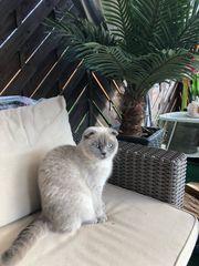 reinrassige BKH Katze grau-silver Farbe