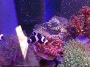 Meerwasser Clownfische