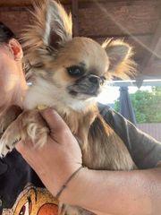 Chihuahua Hündin - Langhaar FCI