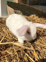 Zwergwidder Zwergkaninchen Kaninchen männlich