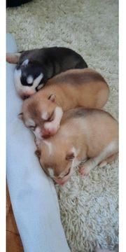 Welpen sibirischer Husky