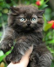 Britisch Langhaar Kätzchen