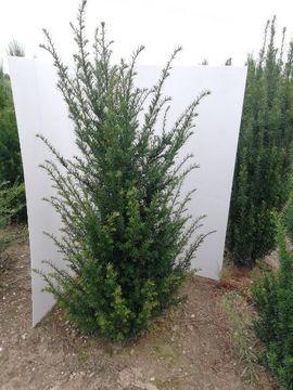 Pflanzen - Taxus baccata Heimische Eibe