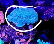 plate lps blau ableger meerwasser