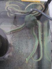 Olivgrüner Schlangenstern Ophiarachna incrassata