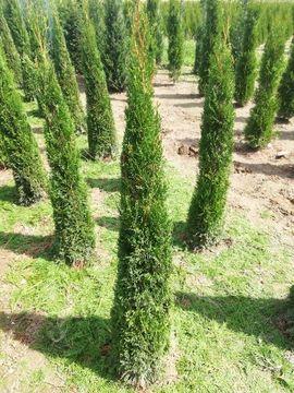 Thuja smaragd Alternative zu Toskanazypresse: Kleinanzeigen aus Elsendorf - Rubrik Pflanzen