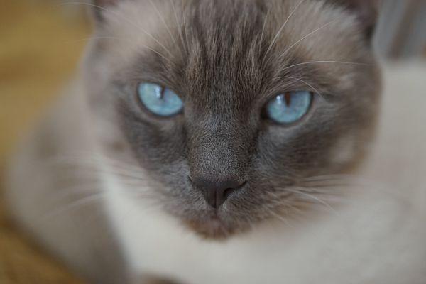 schwarze katze mit blauen augen rasse
