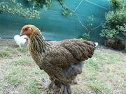 Hühner Hennen Hähne Brahma Rebhuhnfarbig