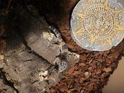 Leopardenhecko 1 0