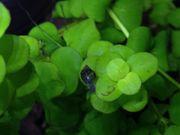 Blasenschnecken Futterschnecken