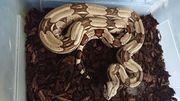 0 1 Boa constrictor constrictor