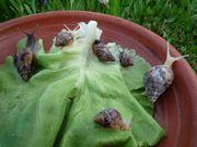 Junge Achatschnecken