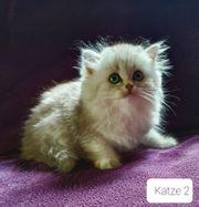 BKH BLH Katzenbabys Kitten - Abgabebereit