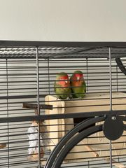 Agaporniden mit ohne Käfig