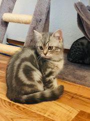 bkh Tabby 4 kitten ab