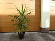 Yucca Palme