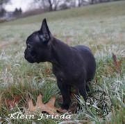 Französische Bulldoggen Hündin kleine Frieda