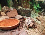 2 sternschildkröten geochelone elegans abzugeben