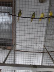 Schmucksittiche spalt in gelb