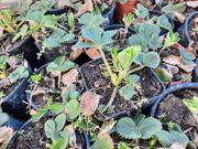 Bio Erdbeerpflanzen - Senga Sengana - im
