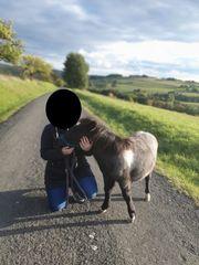 Shetland Pony - Shetty - Fohlen