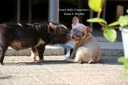 Französische Bulldoggen Welpen aus liebevoller