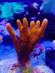 Verschiedene Korallen Ableger SPS LPS