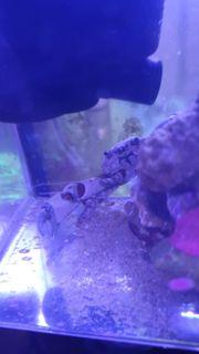 Mithtrax Krabbe abzugeben