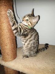 Bengal Mix Kitten fast kleine