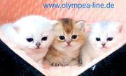 Zuckersüße BKH Kitten