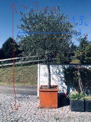 OLIVENBAuM Topfpflanze groß
