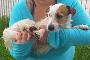 Parson Russell Terrier Pip