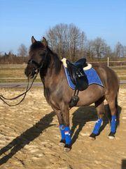 Dressur und Spring ideal Pony