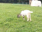 Schöne Junge blober Waliser Ziege