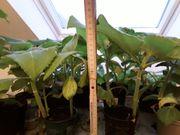 Yacon Pflanzen Inka-Kartoffel Inkawurzel gesunde
