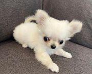Chihuahua Chihuahua welpen