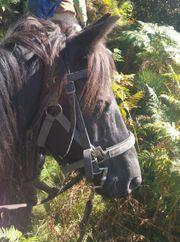 Merens-Pferd