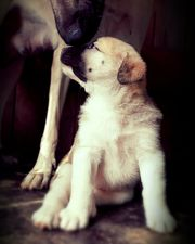 Herdenschutzhund Pyrenäenberghunde Welpen 3 Rüden