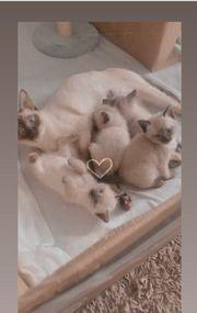 Katzenbabys zu verkaufen 3 noch